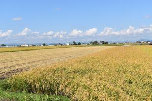 旭川市 隣接ほ場は収穫開始
